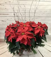 LARGE TRIPLE STEM POINSETTIA