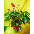 FLOWERING ANTHURIUM PLANT