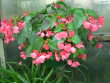 ANGEL WING BEGONIA PLANT