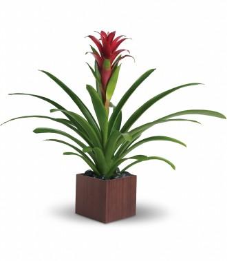 The Bromeliad Beauty