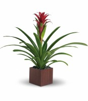 The Bromeliad Beauty