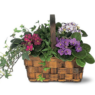 African Violet Trio, plants
