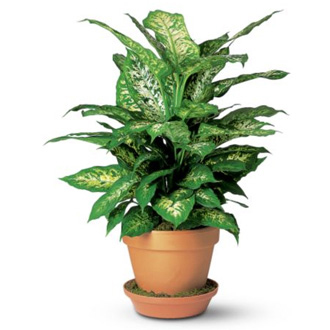 Dieffenbachia, plant, year round, birthday, anniversary, new baby, congratulations, thank you, get well, sympathy, corporate gifts