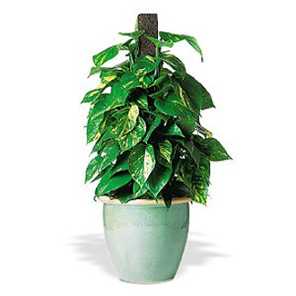 Pothos on Pole, plants, corporate gifts
