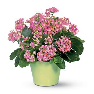 Pink Kalanchoe, plants