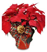 Poinsettia Plant Christmas