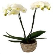 Orchid Grande