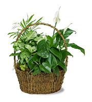 Peace Garden in a Basket, peace lily, spathiphyllum, plants, corporate gifts