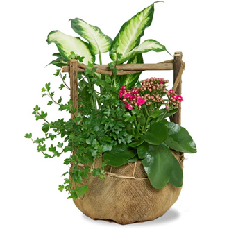 Potted Kalanchoe Mix, ivy, dieffenbachia, thinking of you, plants