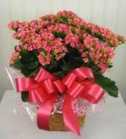 Pink Kalenchoe