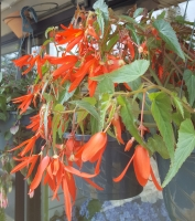 Fire Wings Begonia