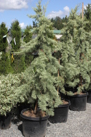 Rental Juniper Upright