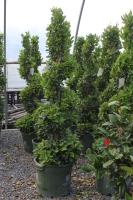 Rental Swirl Topiary