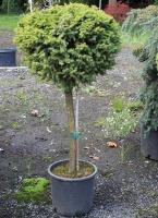 Rental Pine Ball Topiary