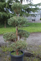 Rental Pine Ball Topiary