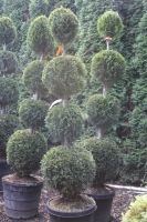 Rental Ball Topiary