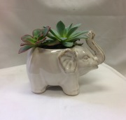 White Elephant Succulent