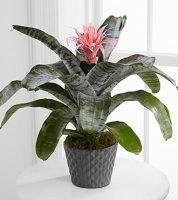 Bromeliad Plant