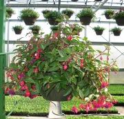 Caan Floral -Fuchsia Hanging Basket