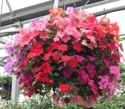 Caan Floral - Impatien Garden Hanging Basket