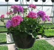 Caan Floral - Ivy Geranium Hanging Basket