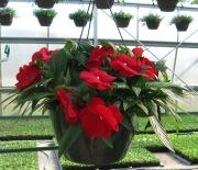 Caan Floral - New Guinea Impatien Hanging Basket