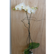 Orchid Plant (white)