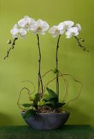 2 Stems White Orchid Plant