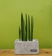 Sansevieria Stuckyi Planter