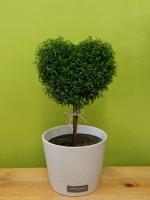 Heart Myrtle Plant