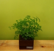 Maidenhair Fern Planter