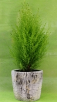 Lemon cypress planter