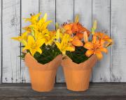 Hybrid Lily