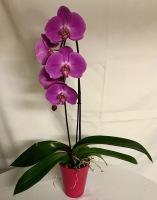 Phalaenopsis Plant-14