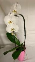 White Phalaenopsis-14