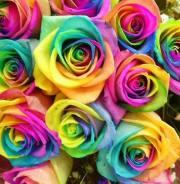 1 Dozen Long Stem Rainbow Roses Cello Wrapped