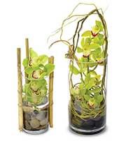 Cymbidium Orchid Desktop Garden