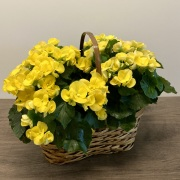 Double Begonia Planter