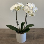 Phalaenopsis Orchid - Premium Double Stem