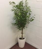 Braided Ficus Benjamina Tree in Decorative Pot