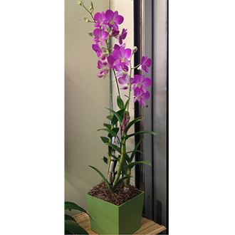 Dendrobium Orchid Plant (best color avail)