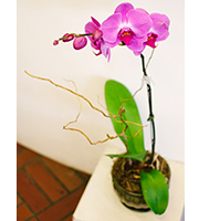 Phalaenopsis Orchid Ceramic Planter - Best available color