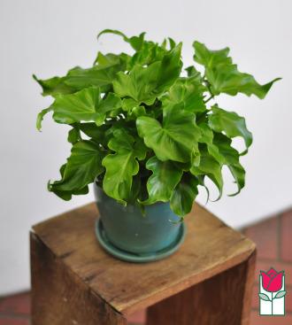 beretania florist monstera plant honolulu hawaii delivery