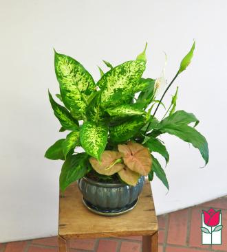 Beretania\'s Compact Blooming Planter
