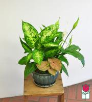 Beretania's Compact Blooming Planter