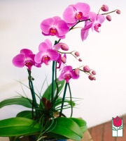 The BF Triple Phalaenopsis Orchid in Ceramic