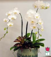 The BF Premium Triple Phalaenopsis Orchid in Ceramic