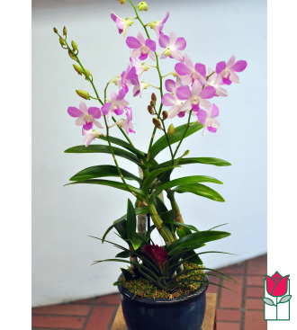 The BF Premium Dendro Orchid Plant in Ceramic