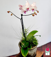 beretania florist phalaenopsis orchid planter delivery in honolulu
