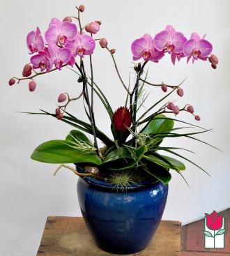 beretania florist phalaenopsis orchid planter honolulu delivery